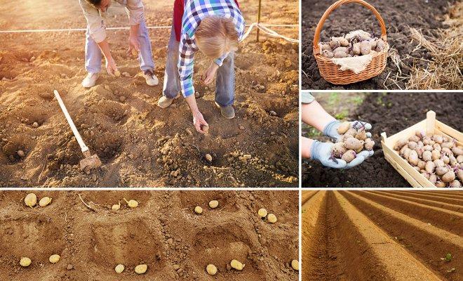 Выращивание картофеля с нуля 53