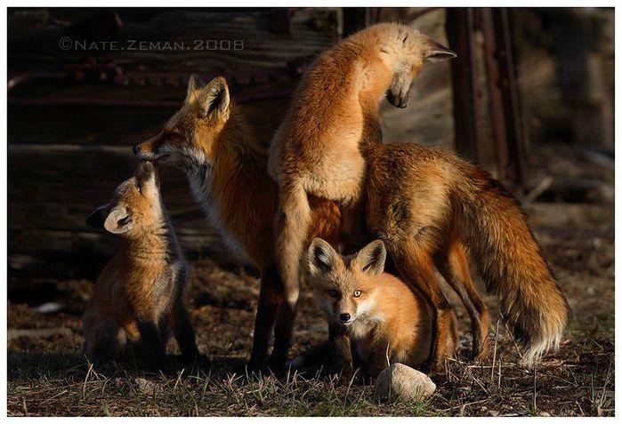 fox_20120409_00640_060 (700x500, 70Kb)