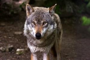 Гаврош и  волк   (Леонид Нетребо)