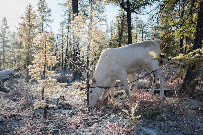 Условия зимнего выпаса оленей имеют огромное значение для их здоровья.