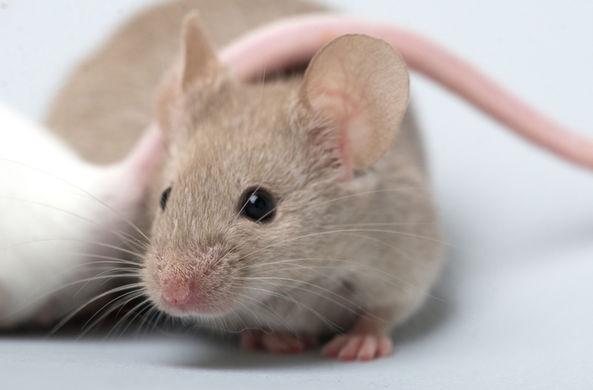 Ученые вырастили человеческий мозг в мыши