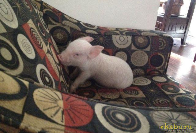 Друзья решили завести дома декоративную свинку.......
