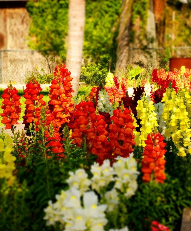 Огненно-яркийантирринуморанжевогоцвета