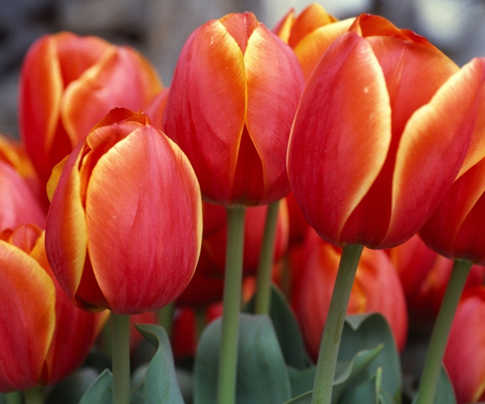красные тюльпаны, тюльпаны, бутоны