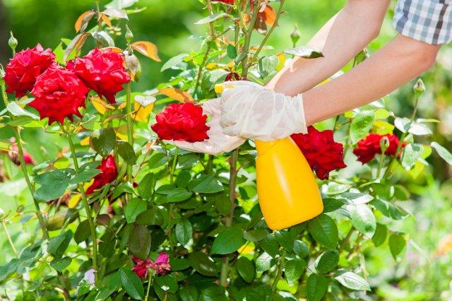 Опрыскивание роз от болезней и вредителей