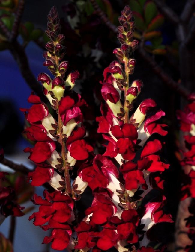 Нарядные красно-белые Львиные зевики