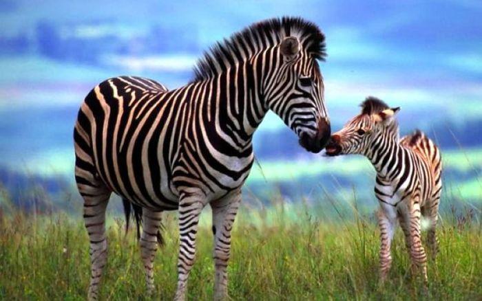 Мамина любовь в животном мире FaceNews