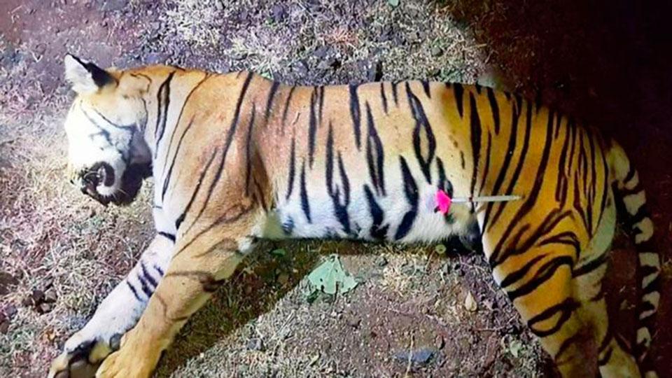 В Индии убили тигра-людоеда,…