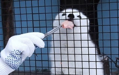 В Московском зоопарке показали, как кормят песца