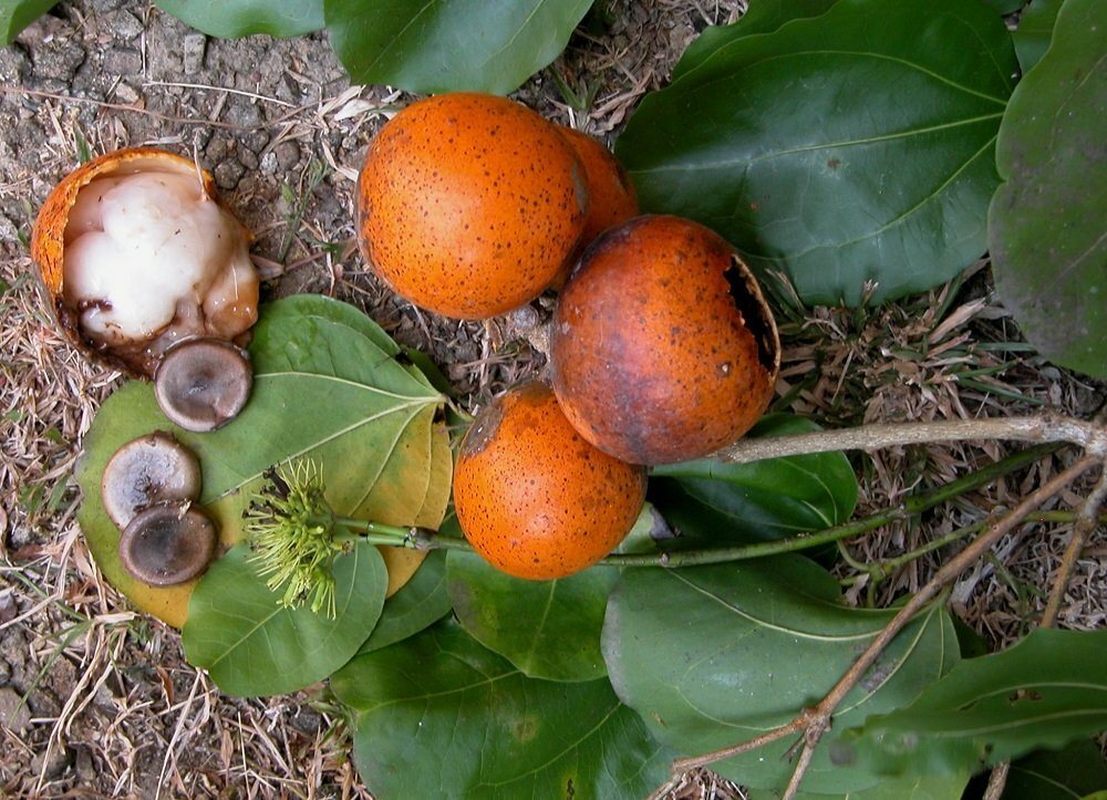 Стрихниновое дерево
