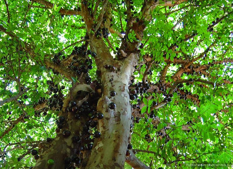 Жаботикаба – это растение