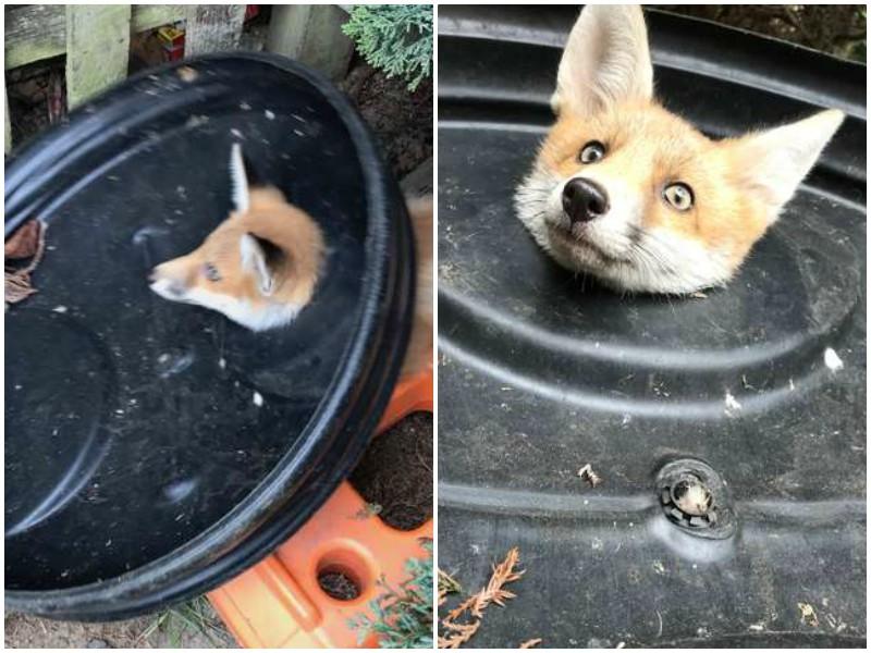 Молодая лисичка пришла к людям просить помощи
