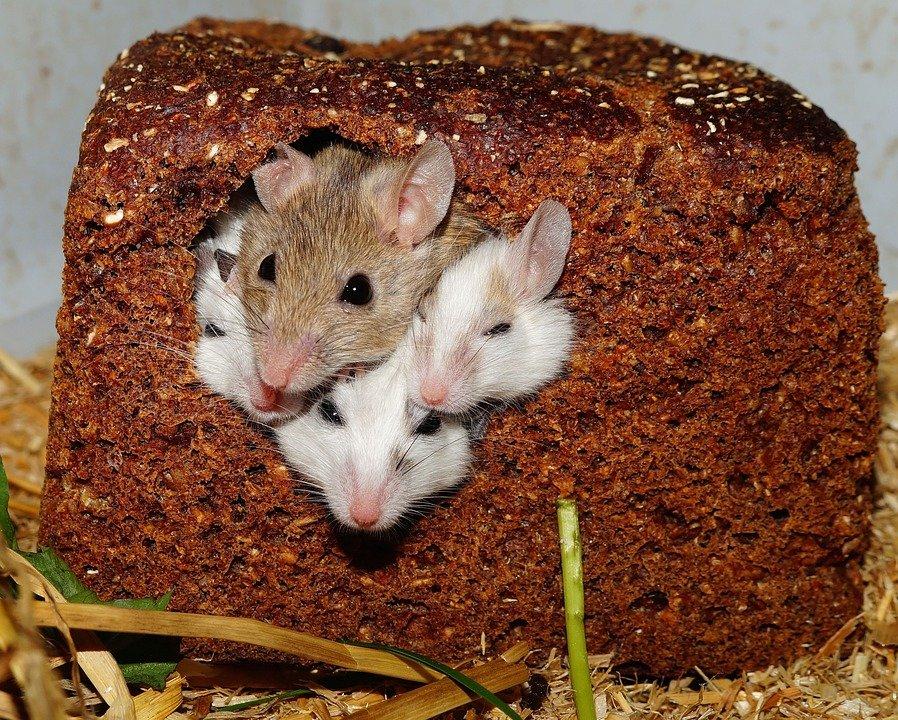 В Китае у однополой пары мышей появилось потомство