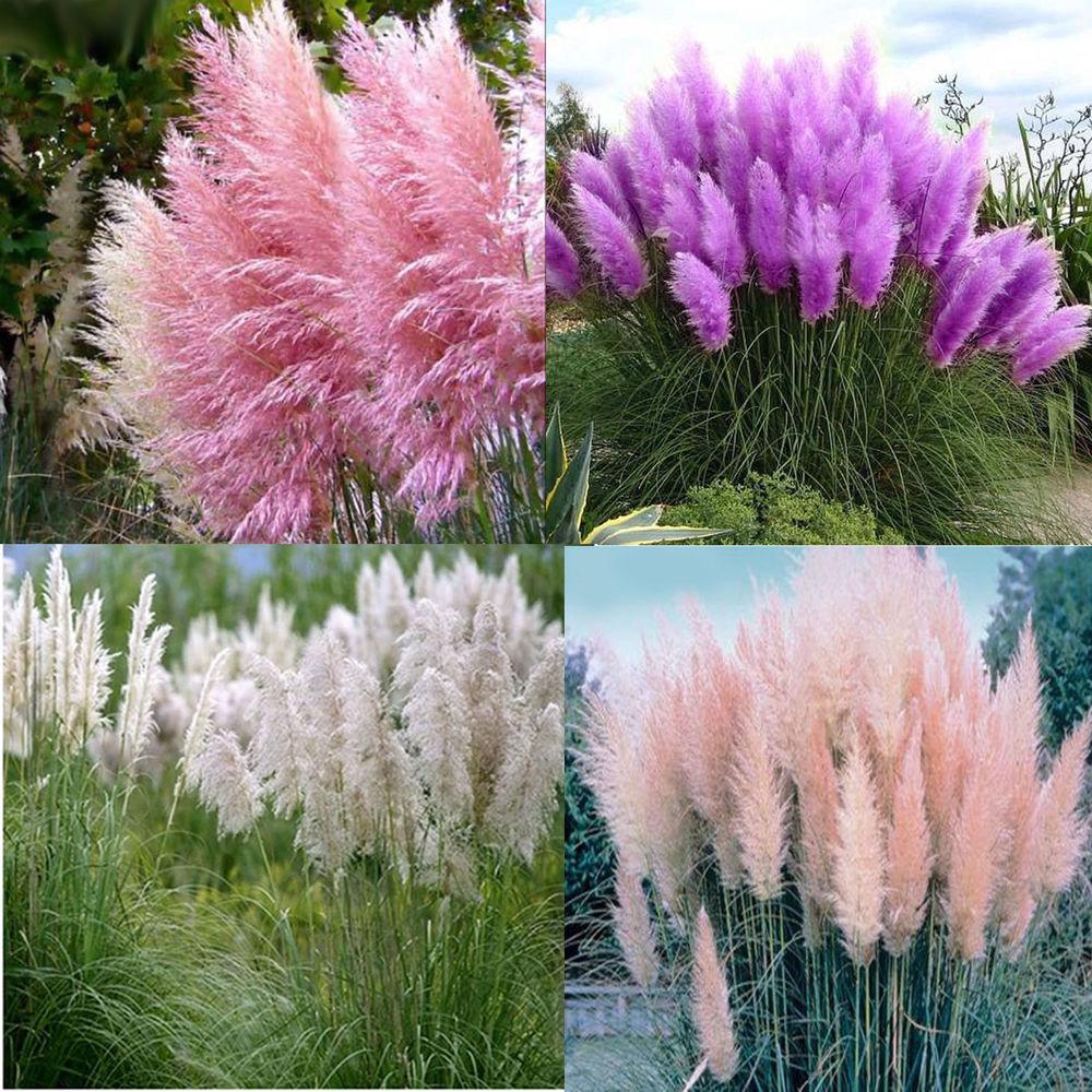 Кортадерия - пампассная трава. Злаковый сад