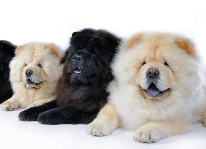 Самые популярные породы собак: чау-чау