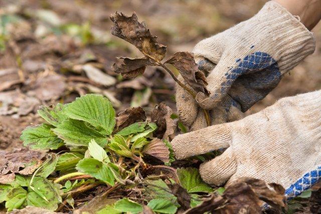 Уход за садовой земляникой