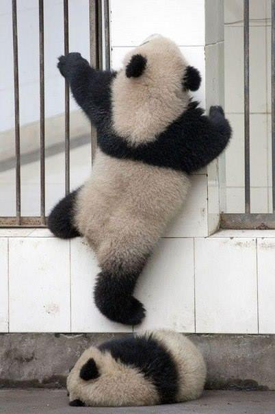 Операция панд по побегу из зоопарка дала сбой