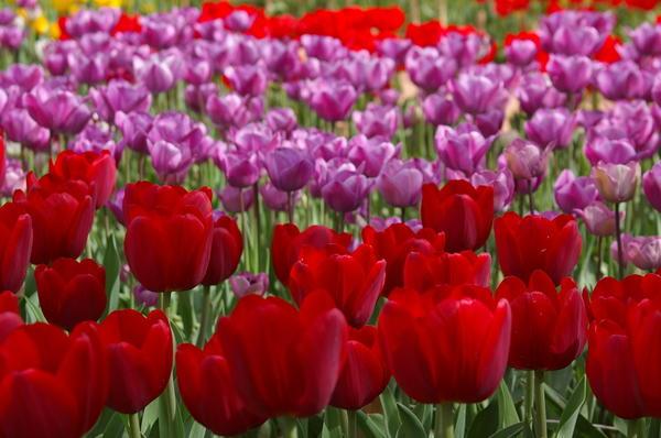 Тюльпаны крупными мазками или Крымский Кёкенхоф