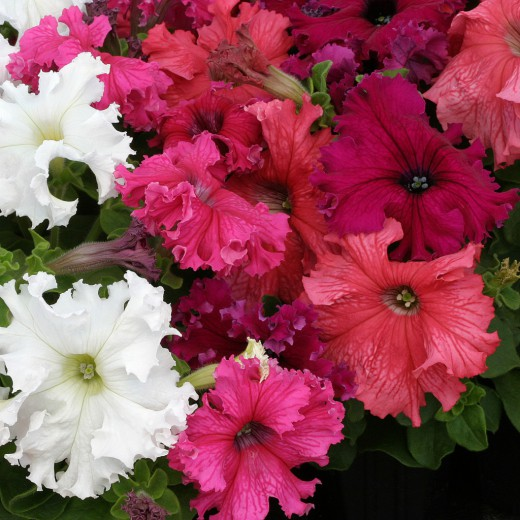 Фриллитунии — петунии с огромными цветками
