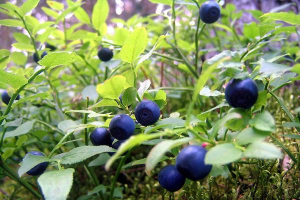 Полезные свойства ягоды черника