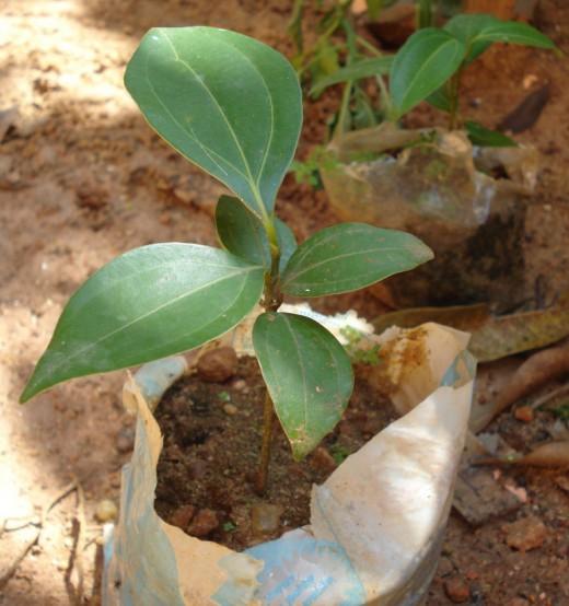 Корица, коричник - уход, выращивание, размножение...
