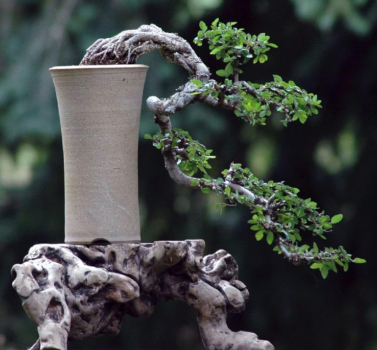 Стили бонсай. кэнгай. Фото