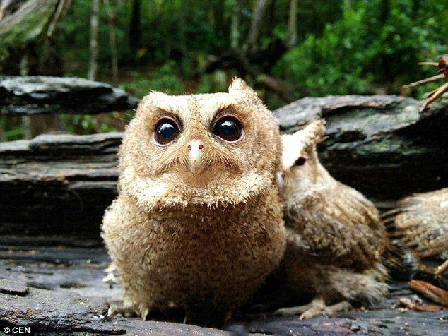 Get ready for future: The owlets will also be taught how to hunt on their own before being released back