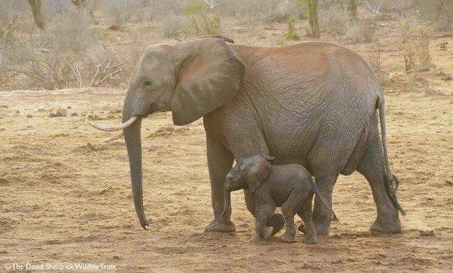 «Благодарю за жизнь!» Слониха вернулась через 8 лет, чтобы показать людям своё дитя!