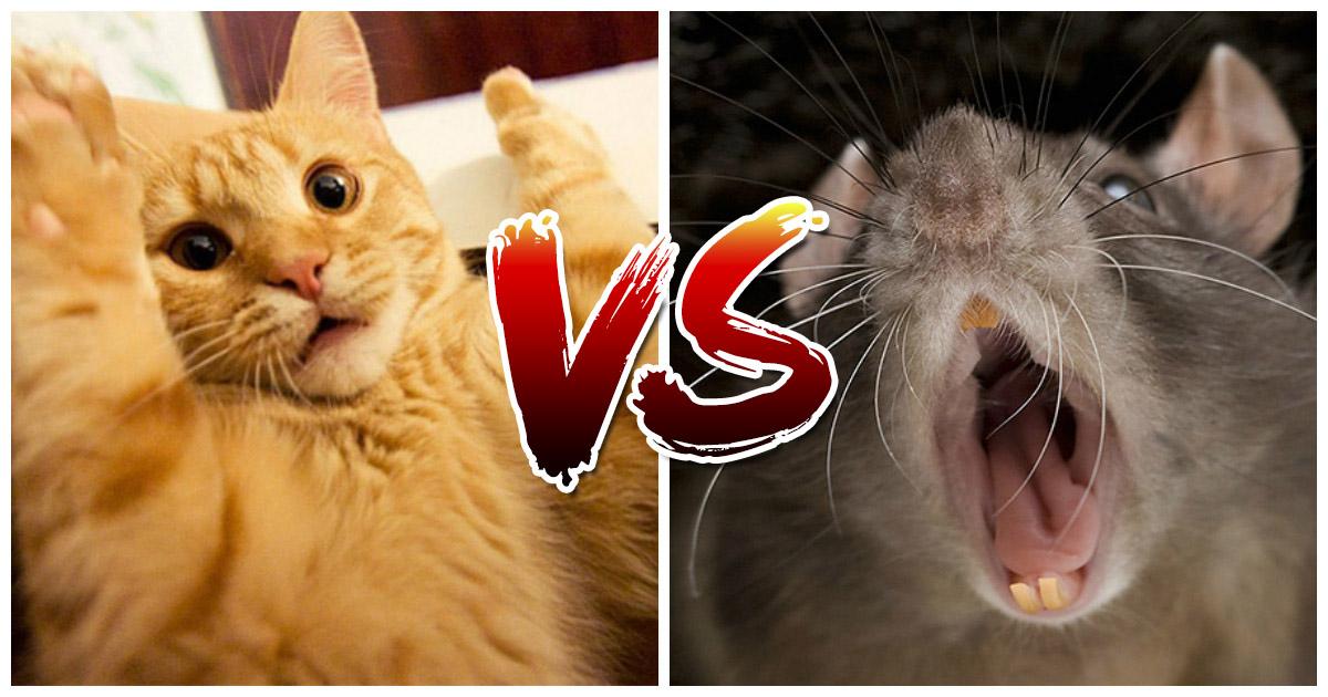 Как домашний кот с крысой воевал