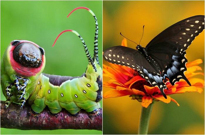 До и после:  необыкновенные превращения гусениц в прекрасных бабочек и мотыльков