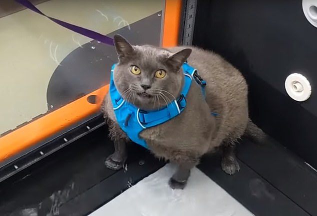 Кошка по кличке Шлакоблочина виртуозно показывает, что не собирается худеть