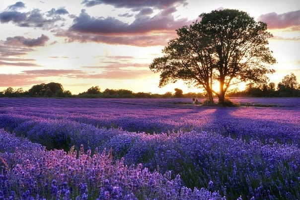 Лавандовые поля во Франции