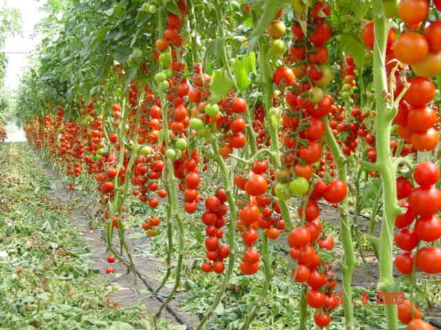 Выращивание помидор из своих семян 665