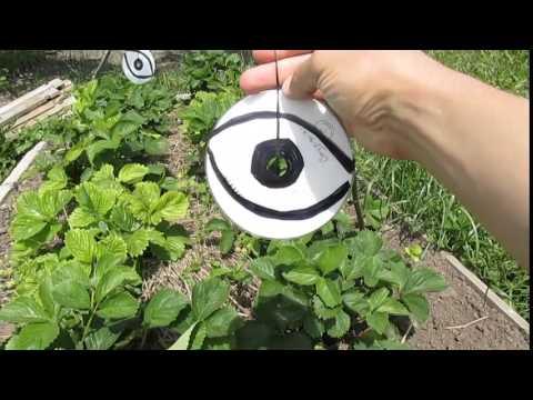 Как защитить клубнику и черешню от птиц?
