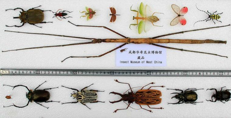 Найдено самое длинное насекомое в мире