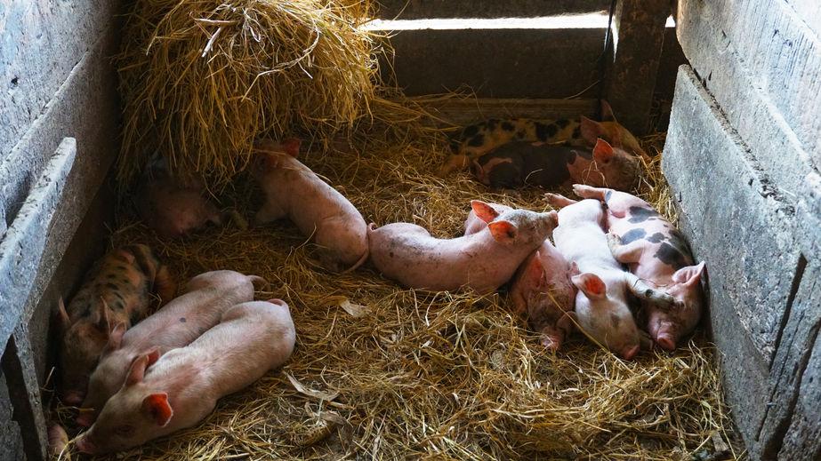 Российский робот помог родить свинье
