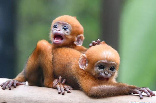 Первая в мире разнополая двойня Лангура Франсуа «вышла в свет»