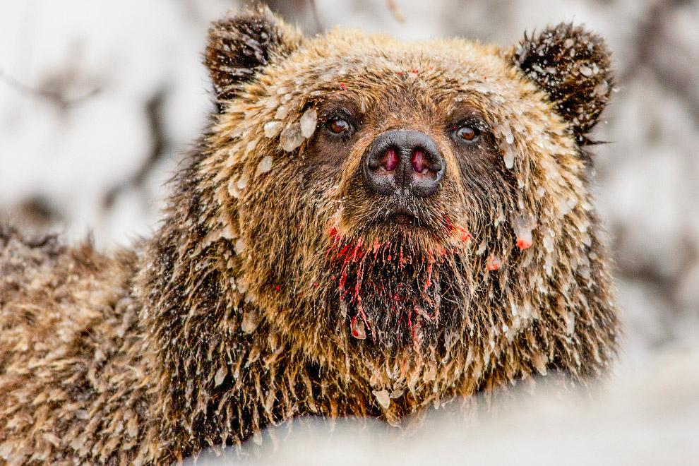 Медведь в сосульках