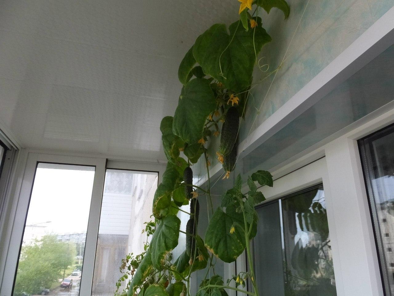 Правила выращивания огурцов в домашних условиях на подоконни.
