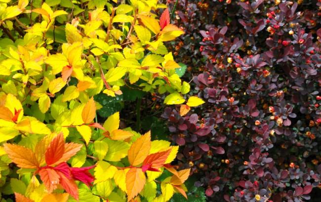 Восхитительный контраст цвета: спирея и барбарис