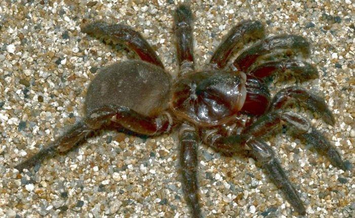 Добрая женщина спасла животное, которое могло утонуть. Это огромный ядовитый австралийский паук