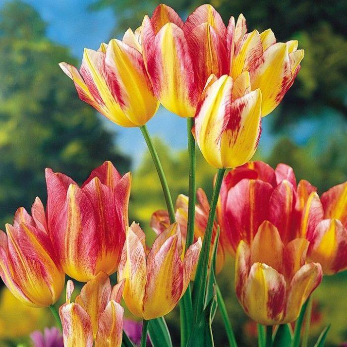 Поистине один самых дорогих тюльпанов в мире. | Фото: pinterest.com.