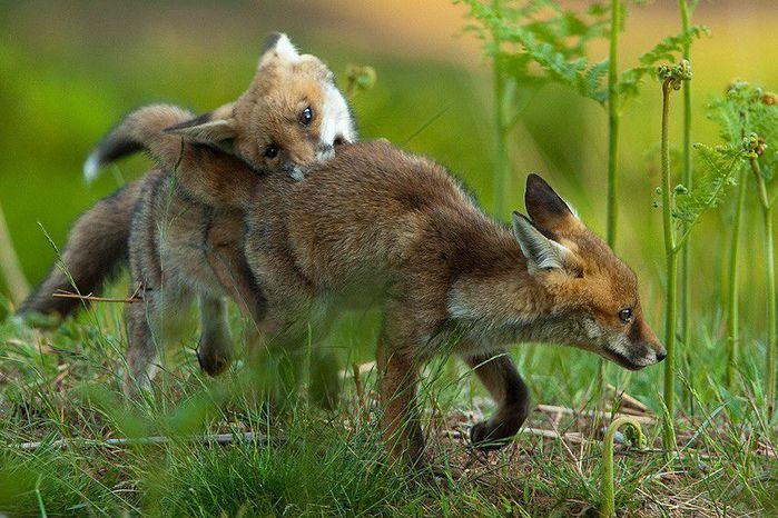 fox_20120409_00640_017 (700x500, 85Kb)