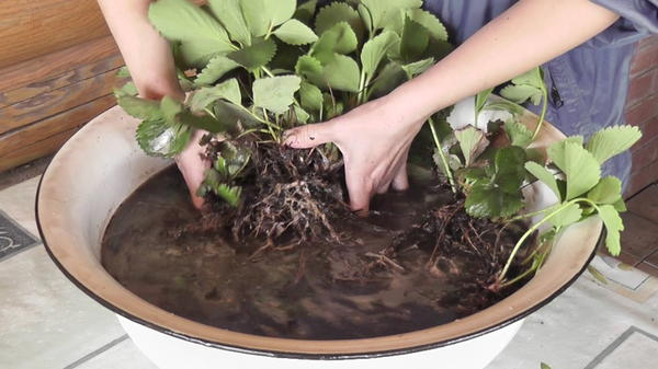 Куст садовой земляники замочен в воде