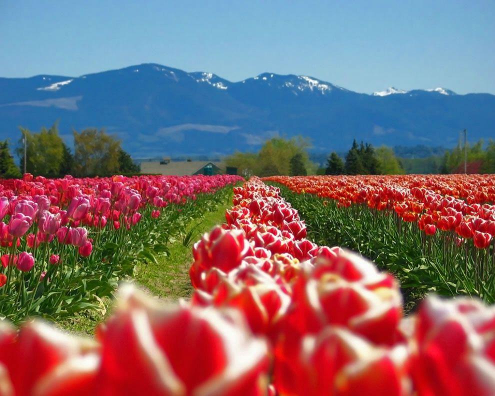 tulips22 Самые яркие тюльпаны со всего света
