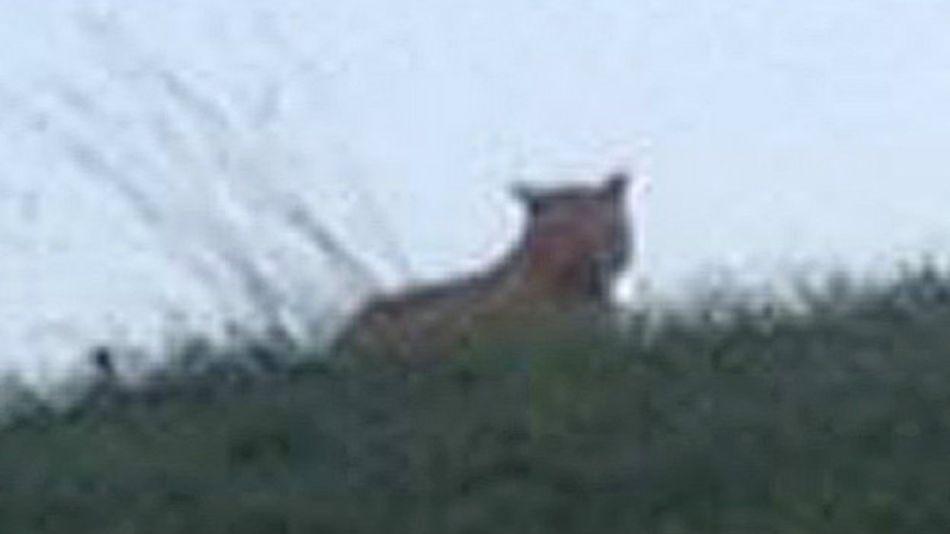 Беспризорная большая кошка приближается к Парижу