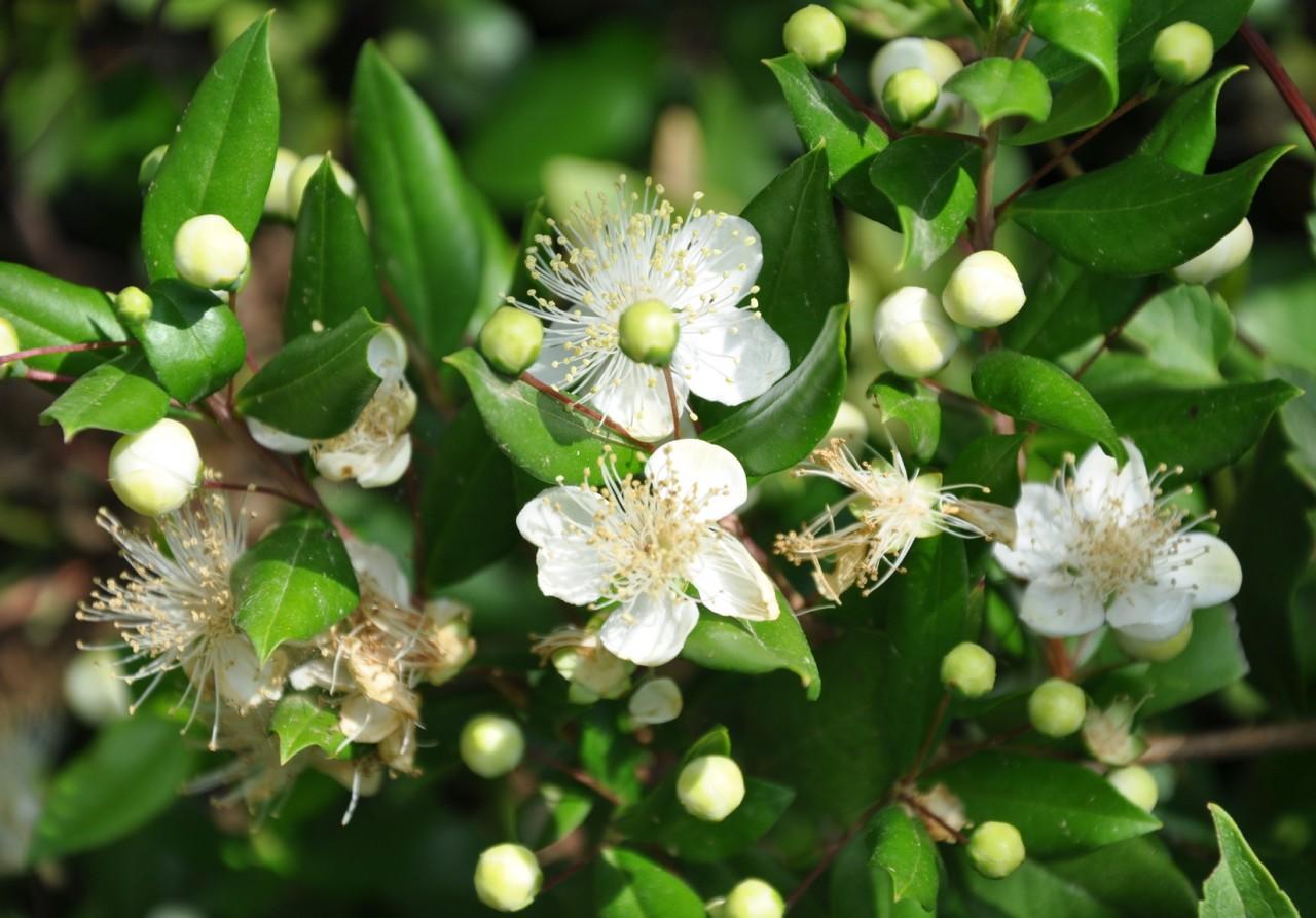 myrte ...floraison