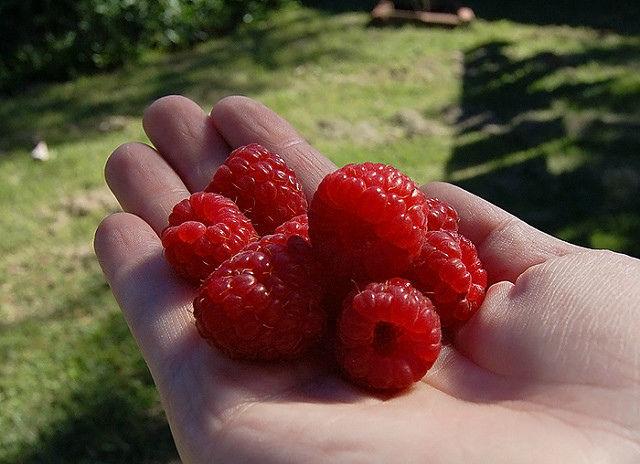 ягоды малины на ладони