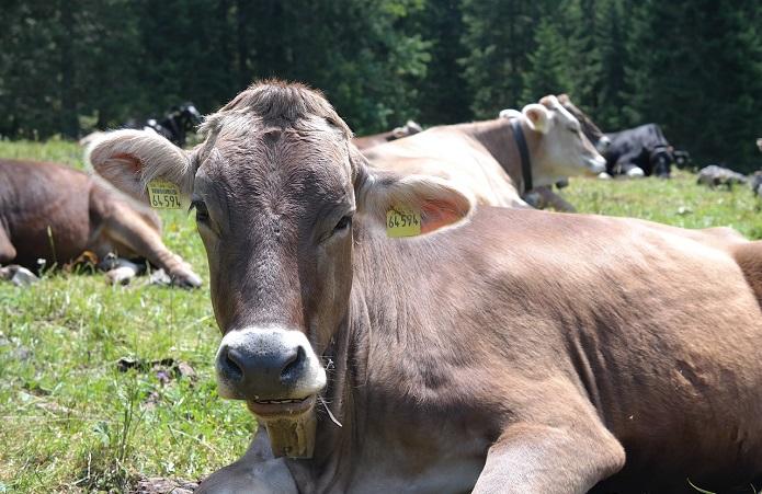 Убийство коровы
