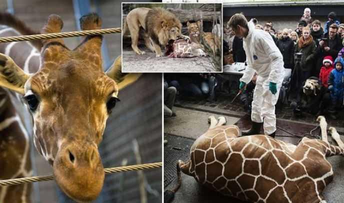 В зоопарке прилюдно убили здорового жирафа и бросили на растерзание львам